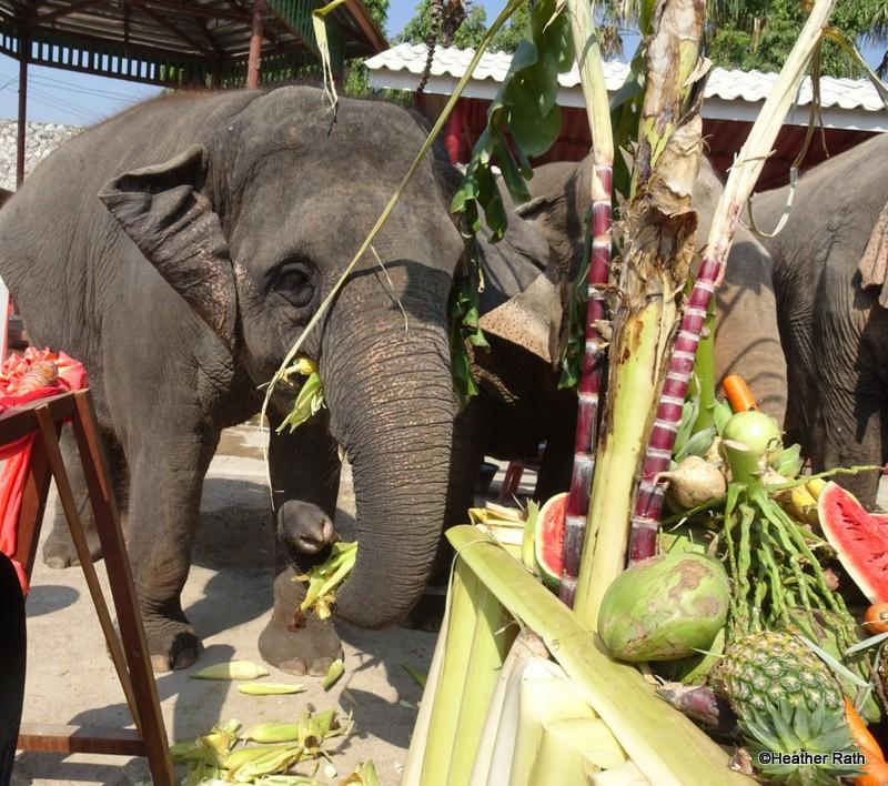 The elephants husk the corn with their teeth before enjoying corn on the cob