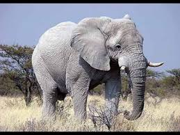 White elephant is lighter skinned than the normal gray elephant.