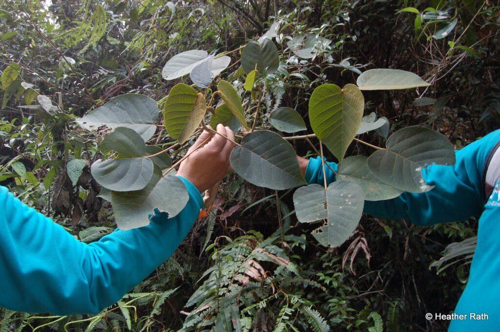 Leaf of the dragon tree