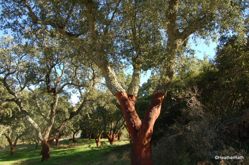 A grove of cork trees recently harvested, Évora
