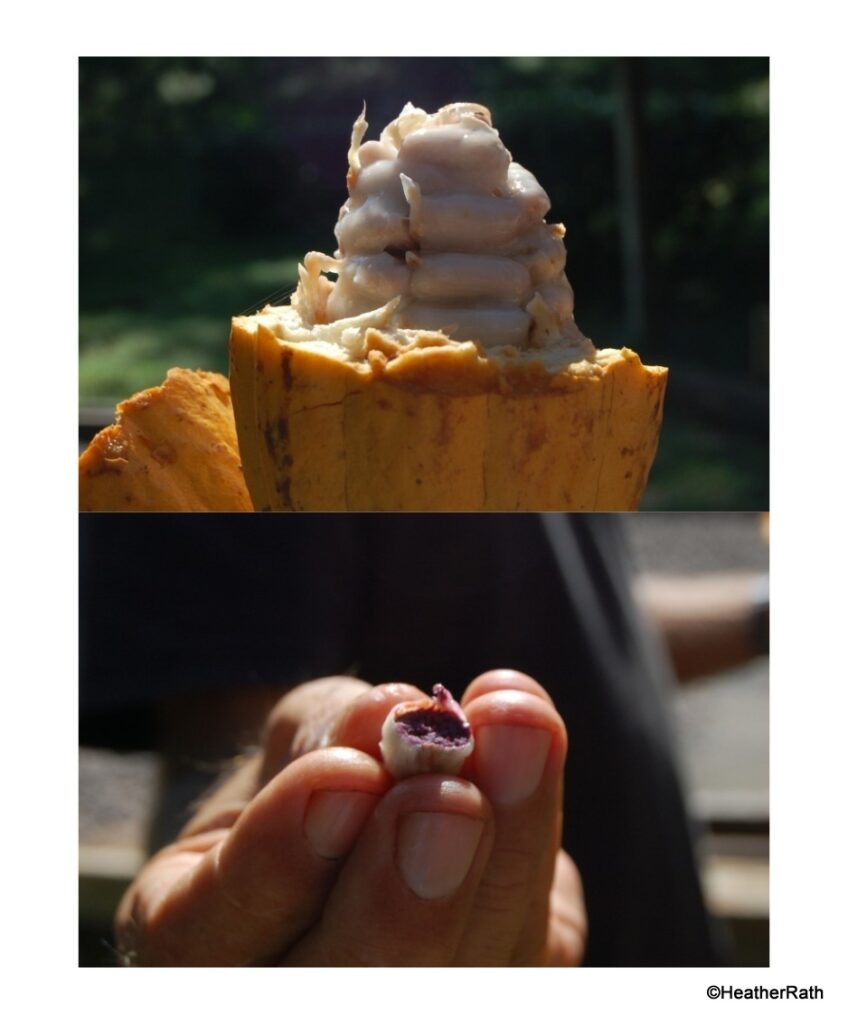 Ripened cacao pod with cacao seed
