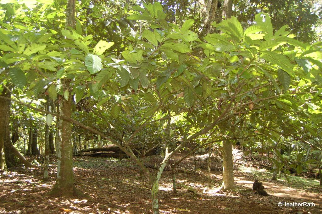Criollo chocolate trees