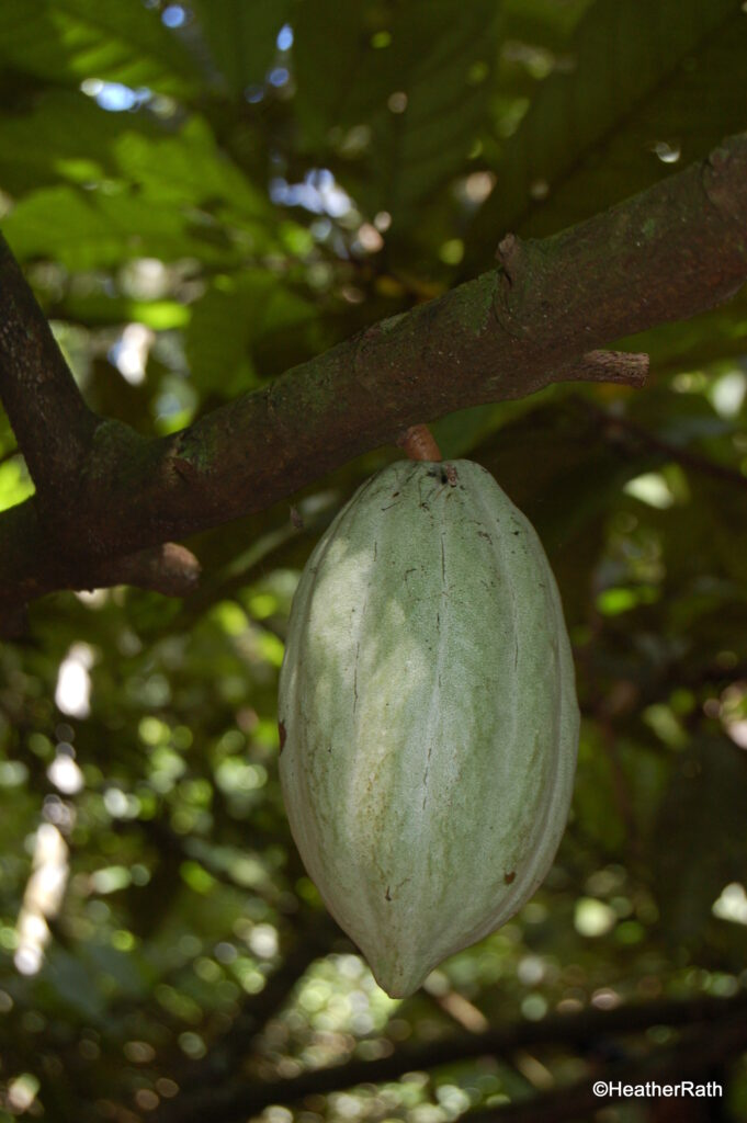 Unripened cacao pod