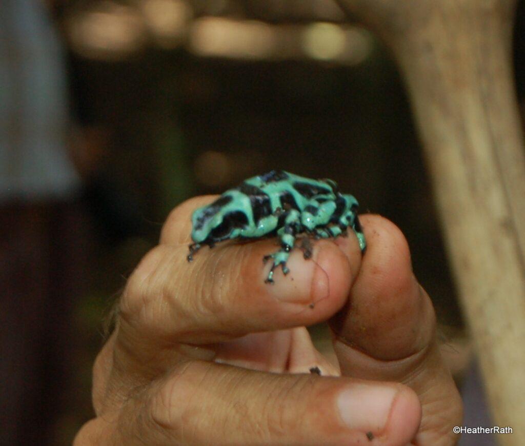Bandit Green Poison Dart Frog