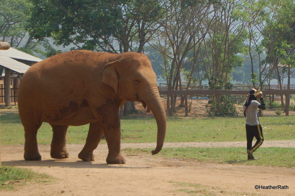 elephant following trainer